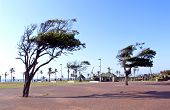 Wind Blown Trees In Walkway On Durban's Golden Mile
