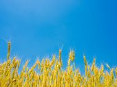 Blue Sky And Ears Of Wheat