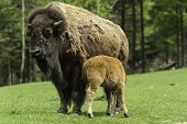 Mother buffalo with baby