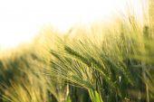 Sunny Ripe Crop - Yellow Corn Field During Sunrise