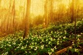 foto of trillium  - White Trilliums growing on a wooded Hillside on a misty morning - JPG