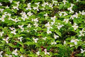 stock photo of trillium  - Trillium bed Blooming on the Forest Floor - JPG