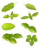 Thai Herb Leaves (sweet Basil,kaffir,basil,tael)