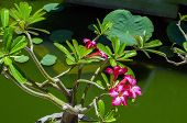 foto of dharma  - Adenium Flowering Plant in Temple Dharma - JPG