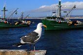 Seagull at Monterey California Wharf