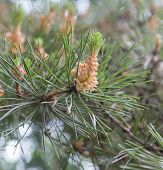 The pine cone on the end of a branch of a pine in the afternoon