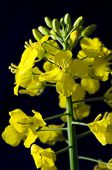 foto of rape-seed  - Detail of rape seed bloom isolated on black background - JPG