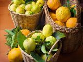 Citrus Harvest