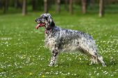 picture of english setter  - Cute blue belton English Setter dog is standing in a beautiful spring flowering meadow before a groves background - JPG