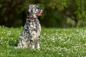 stock photo of english setter  - Cute blue belton English Setter dog is sitting in a beautiful spring flowering meadow before a groves background - JPG