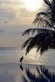 stock photo of infinity pool  - Heron over infinity pool in Maldives - JPG