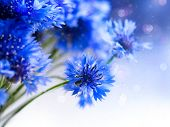 Cornflowers. Wild Blue Flowers Blooming. Border Art Design. White background. Closeup Image. Soft Fo