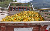Pick Up Truck Carrying Tangerines