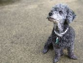 Poodle looks up sitting on concrete