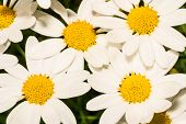 Marguerites group macro