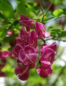 Idaho Locust Blossoms