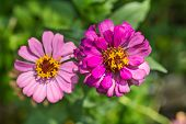 image of zinnias  - Close up of pink zinnia (Zinnia violacae Cav.) flower, top view