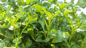Group Of Fresh Watercress