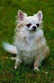 longhair chihuahua