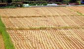 Harvested Rice Field With Stubbles