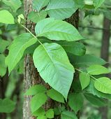 foto of ivy vine  - Poison ivy Toxicodendron radicans vine growing on a tree - JPG