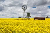 Canola Fields Near Smeaton