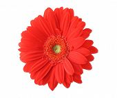 Isolated Red Gerbera On Pure White Background