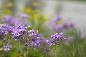 foto of goldenrod  - Soft purple and yellow wildflowers - JPG