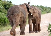 foto of male-domination  - Two male African elephants trying assert their dominance - JPG