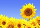 stock photo of sunflower  - Border with many yellow sunflowers - JPG