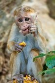 Monkey Eating Pineapple