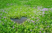 Beautiful Flora, Hyacinth Flower Lake