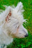 picture of west highland white terrier  - White West Highlands Terrier portrait vertical image - JPG