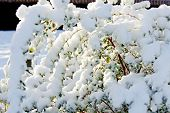 Sunny Tree Cover With Snow