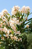Light Orange Oleander Flower