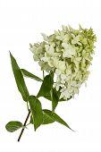 Flowers Of Hydrangeas Paniculata, Lat.hydrangea Paniculata, Isolated On White Background