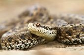 Closeup Of Meadow Viper