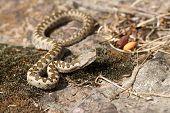 Juvenile Sand Viper In Situ
