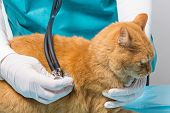 Animal Clinic -  Treatment With Stethoscopes At A Cat
