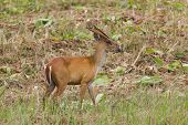 Barking Deer In Nature