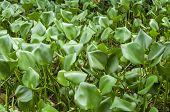 Wild Water Hyacinths