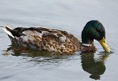 Mallard duck on lake