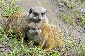 Meerkat (suricata Suricatta) Baby