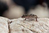 Gecko lizard on rocks