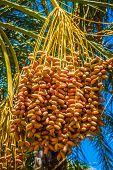 Tunisia, Organic Dates Ripening On The Palm Tree In The Tunisia Sunshine.