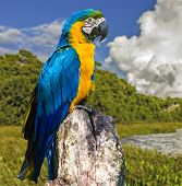 Blue and Yellow Macaw in Pantanal, Brazil - South America
