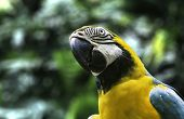 Blue and Yellow Macaw in Amazon, Brazil