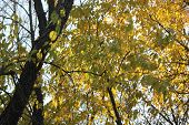 Ash Tree in Fall changing from green to yellow leaves in fall