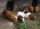 Guinea Pigs of Peru