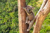 Cute Koala in the forest, Australia
